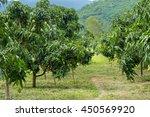 Mango Tree Plantation