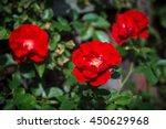 Rose Bush With Three Beautiful...