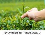 hand finger picking tea leaves... | Shutterstock . vector #450630010