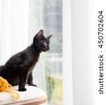 Small Tuxedo Black Kitten...