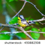 The Magnolia Warbler Is A...
