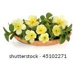 Spring Primrose Flowers ...
