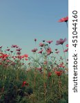 Pink Cosmos Flowers With Sky