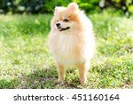 Cute Fluffy Pomeranian Dog In ...