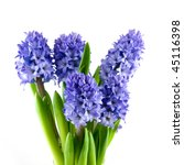 Bouquet Blue Hyacinth Isolated...