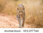 Leopard Walking Towards The...
