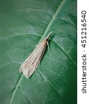 Small photo of Donacaula forficella. A Crambidae Pyralid moth Inhabiting marshy areas, ditches and similar habitats