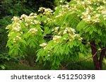 Small photo of Albizzia kalkora (Persian silk tree) in bloom