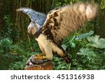 Harpy Eagle Ready To Eat Bunny