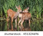 twin fawns nuzzling each other... | Shutterstock . vector #451324696
