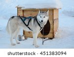 Small photo of The sled dog is girded and chained up near its kennel. It is standing on the snow.