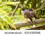 Two Common Myna Birds ...