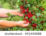 hands picking fruits of red... | Shutterstock . vector #451443088