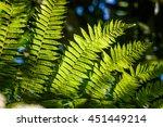 Small photo of Details of Samambaiacu leaf in APA da Serrinha do Alambari, Serra da Mantiqueira, Rio de Janeiro, Brazil
