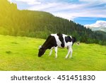 Black And White Cow Grazing On...