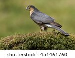 Small photo of Wild Male Eurasian Sparrowhawk (Accipter nisus). On its plucking post