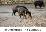 beautiful photo of peccary.... | Shutterstock . vector #451688038