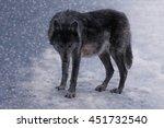The Black Wolf  Female