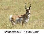 Small photo of American antelope pronghorn grazing at Badlands National Park grassland