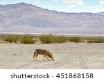 Coyote In Death Valley Nationa...