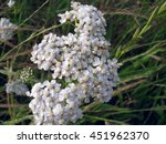 Small photo of Wasp/Insect on an achillean millefolium