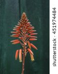 Small photo of Orange Aloe Arborescens Cactus Flower on green wooden background
