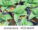 cactus and succulent in mix... | Shutterstock . vector #452136649
