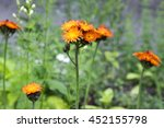 Pilosella Aurantiaca  Orange...