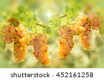 grape riesling in vineyard  ... | Shutterstock . vector #452161258