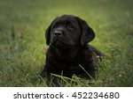 Stock photo cute black puppy labrador retriever isolated on a background of green grass 452234680