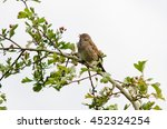 Small photo of Dunnock (Prunella modularis) bird in song. One of the Accentors (family Prunellidae) with beak open singing from hawthorn branch