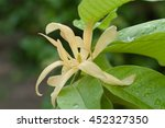 alba michelia yellow after rain ...   Shutterstock . vector #452327350