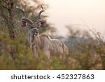 Greater Kudu  Kruger National...