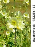Small photo of Yellow flowers-stem roses (Alcea rosea)
