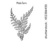 male fern  dryopteris filix mas ... | Shutterstock .eps vector #452386450