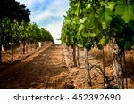 Grapevine Row With Veraison Of...