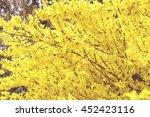 forsythia bush blossom in... | Shutterstock . vector #452423116
