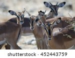 group of blackfaced impalas in... | Shutterstock . vector #452443759
