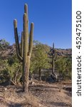 saguaro cactus  very common... | Shutterstock . vector #452475100