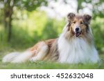 Cute Rough Collie