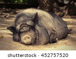 Fat Lazy Pig Sleeping On The...