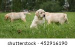 Stock photo puppies yellow labradors playing on the green grass 452916190
