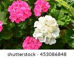 geranium flower garden ... | Shutterstock . vector #453086848