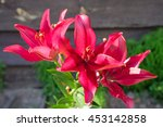 Group Of Red Flowers Lilly...