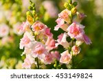 Snapdragon Flowers In Garden ...