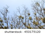 bare trees with mistletoes... | Shutterstock . vector #453175120