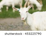 Milk Goat Pasturing On A Rural...