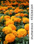 Small photo of Marigolds (Mexican marigold, Aztec marigold, African marigold)