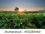 Soy Field And Soy Plants In...