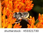 Texas Leaf Cutter Bee ...